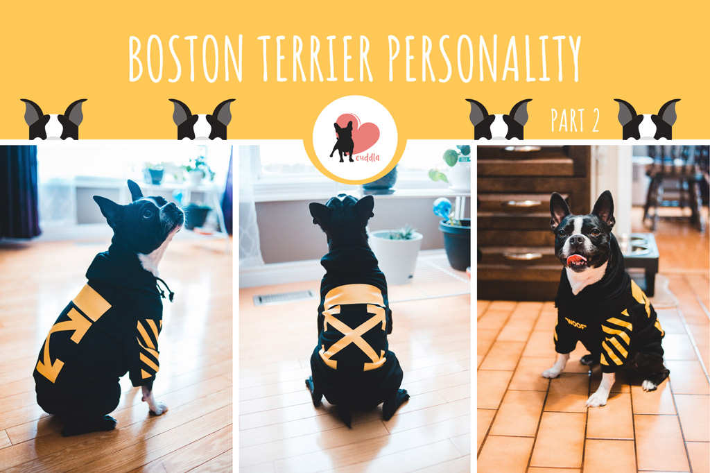boston-terrier-personality-2