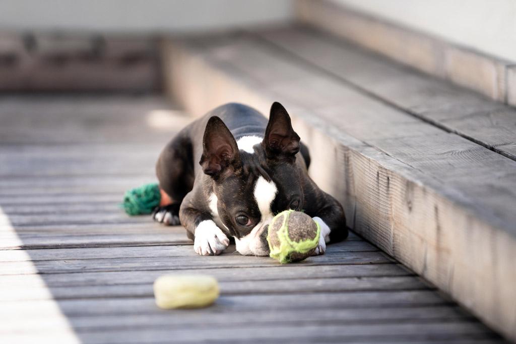 boston-terrier-playing-fetch