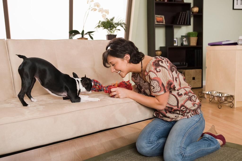 boston-terrier-playing-tug-indoors