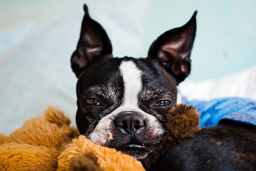 boston-terrier-playing-with-toys