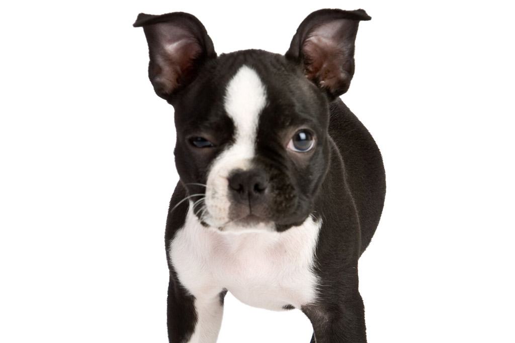 boston-terrier-potty-signs