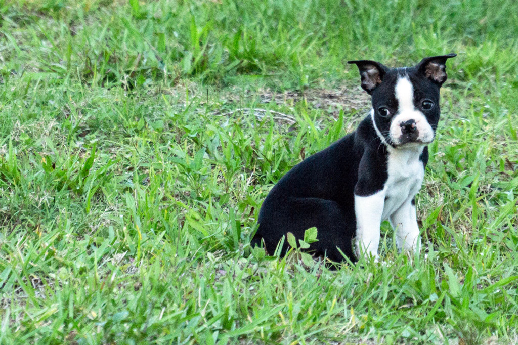 boston-terrier-potty-spot
