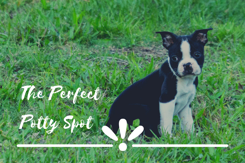 boston-terrier-potty-training