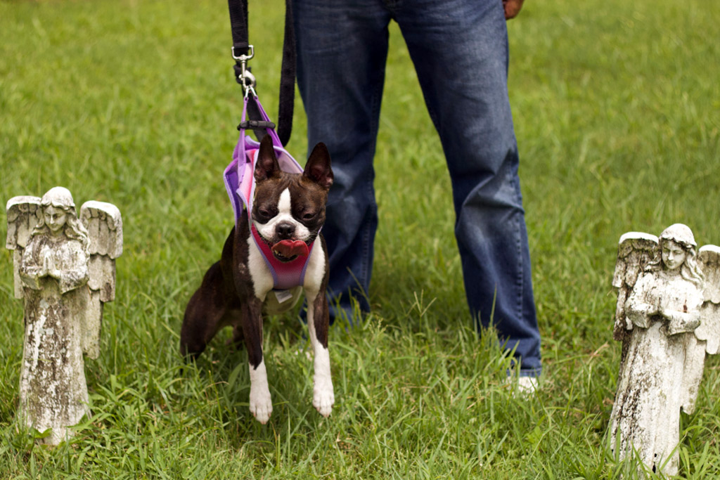 boston-terrier-pulling-on-the-leash