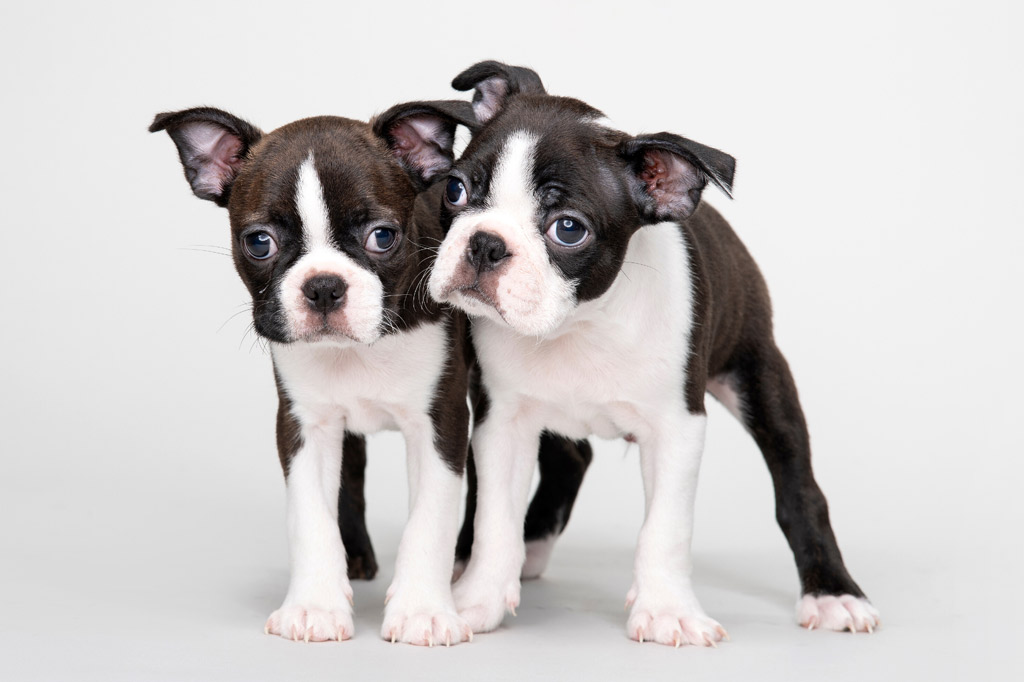 boston-terrier-pup-with-floppy-ears