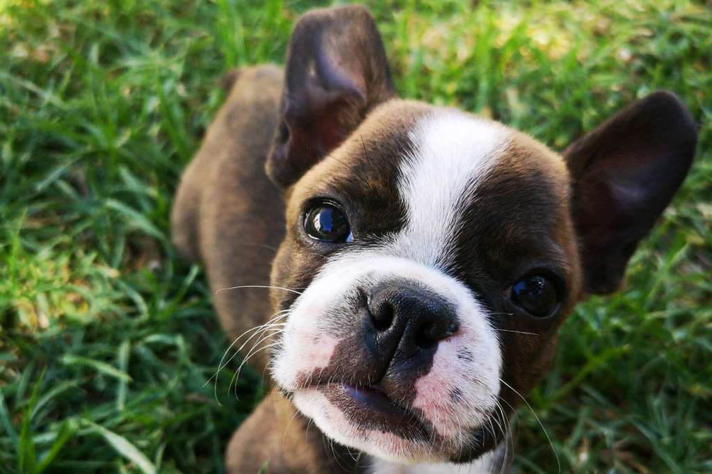 boston-terrier-pup