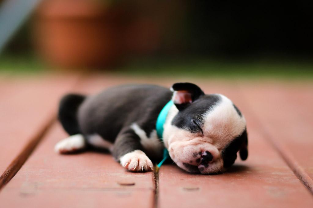 boston-terrier-puppy-newborn