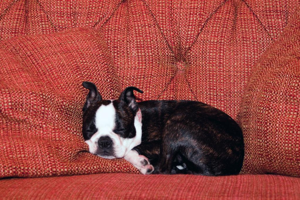 boston-terrier-puppy-sleeping
