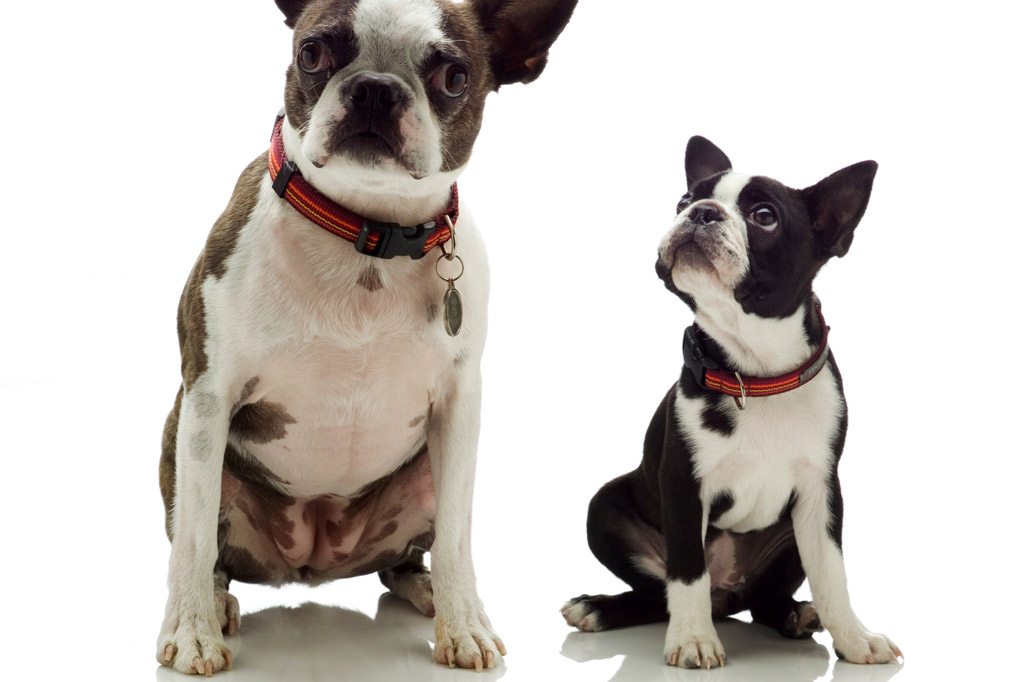 boston-terrier-puppy-with-mother