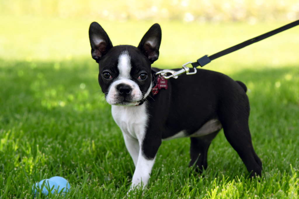 boston-terrier-puppy-with-straight-ears