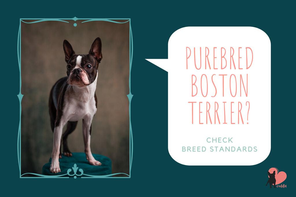 boston-terrier-purebred-standards