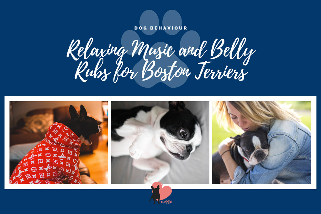 boston-terrier-relaxing-tips-for-hyperactivity