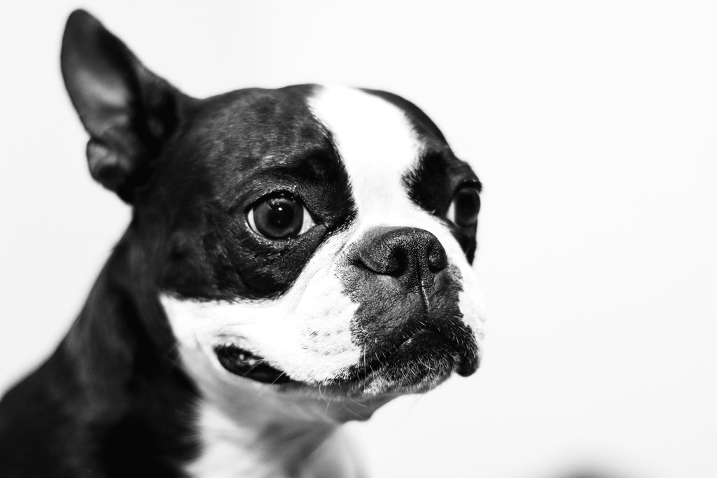 /boston-terrier-rescue