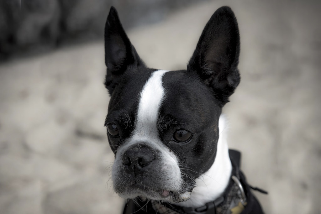 boston-terrier-reverse-sneezing