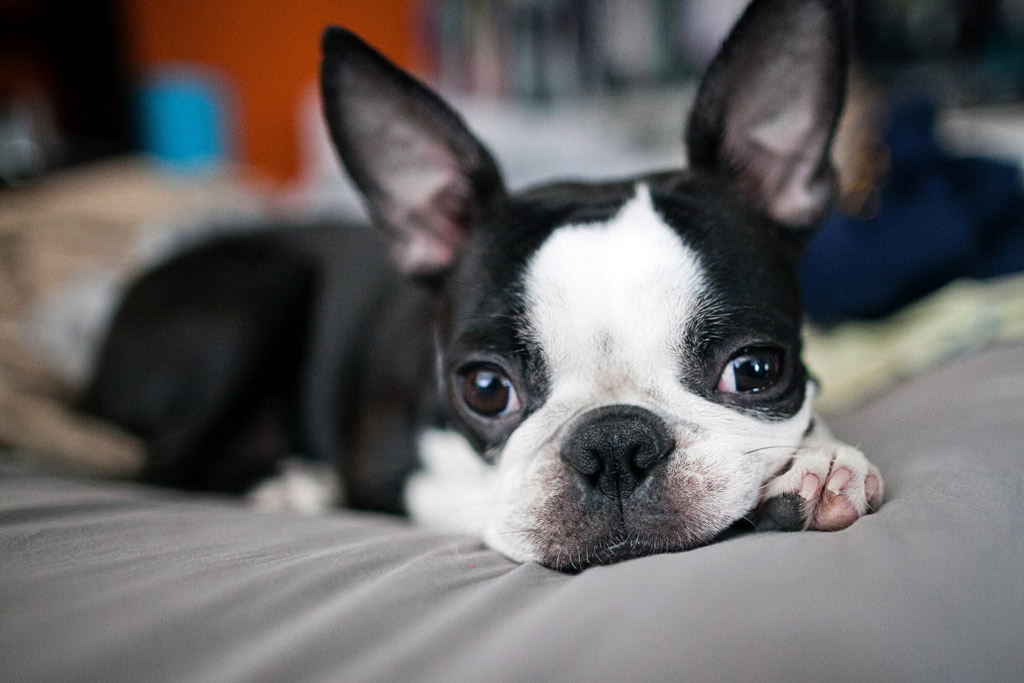 boston-terrier-separation-anxiety-causes