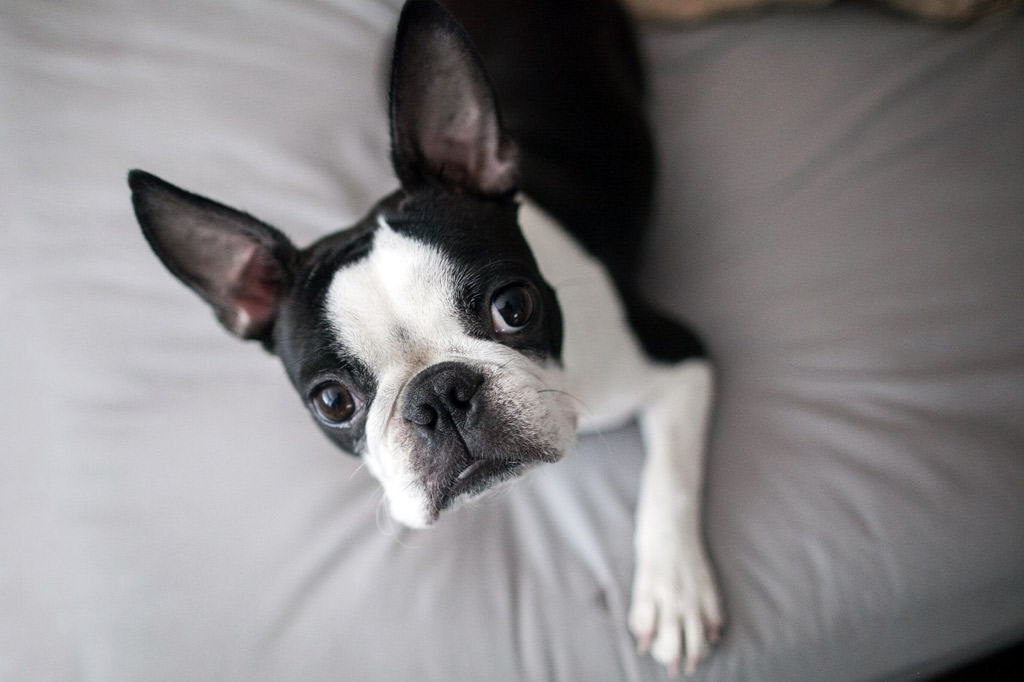 boston-terrier-separation-anxiety-remedies