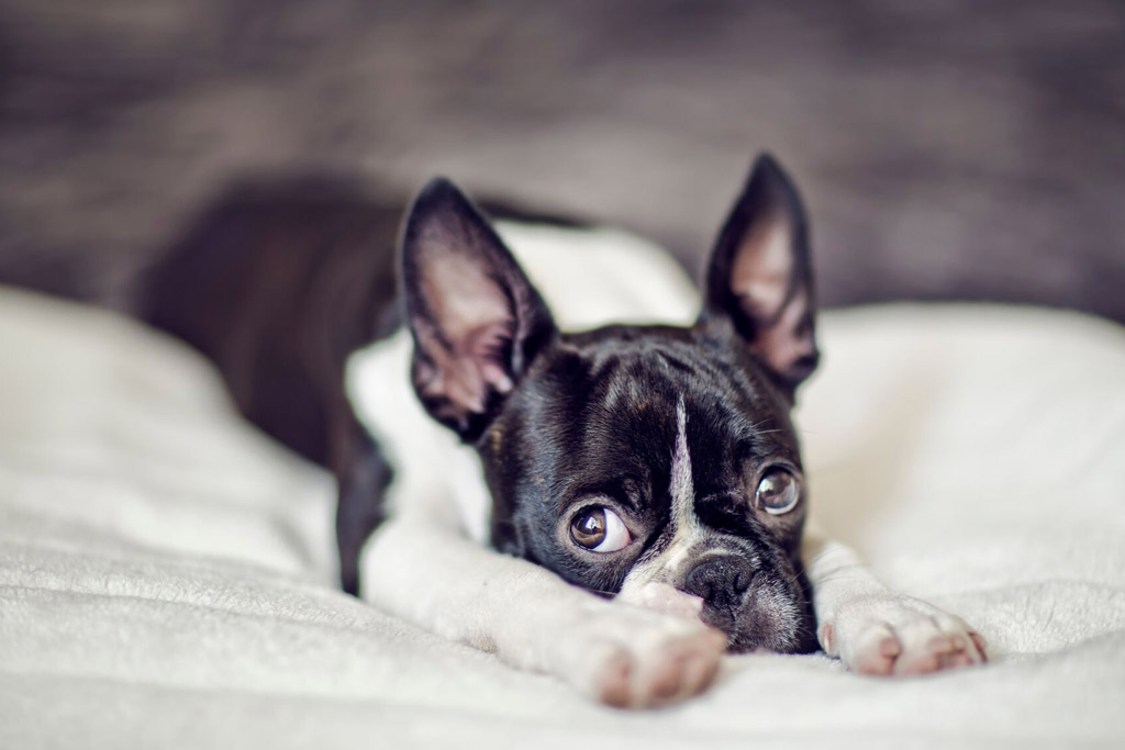 boston-terrier-separation-anxiety-signs