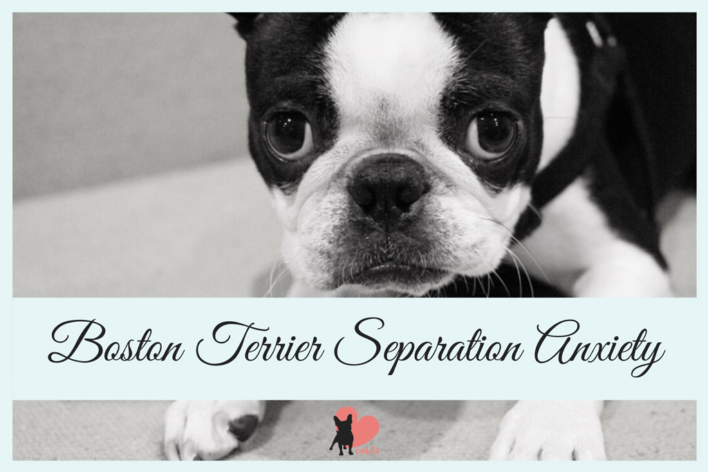 boston-terrier-separation-anxiety
