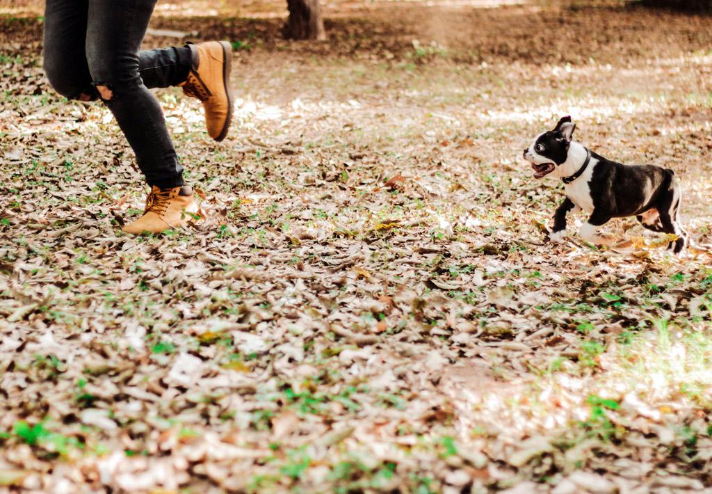 boston-terrier-shaking-reasons