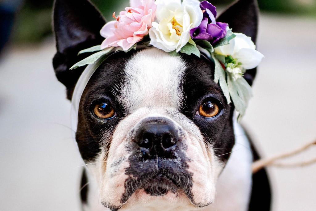 boston-terrier-shedding