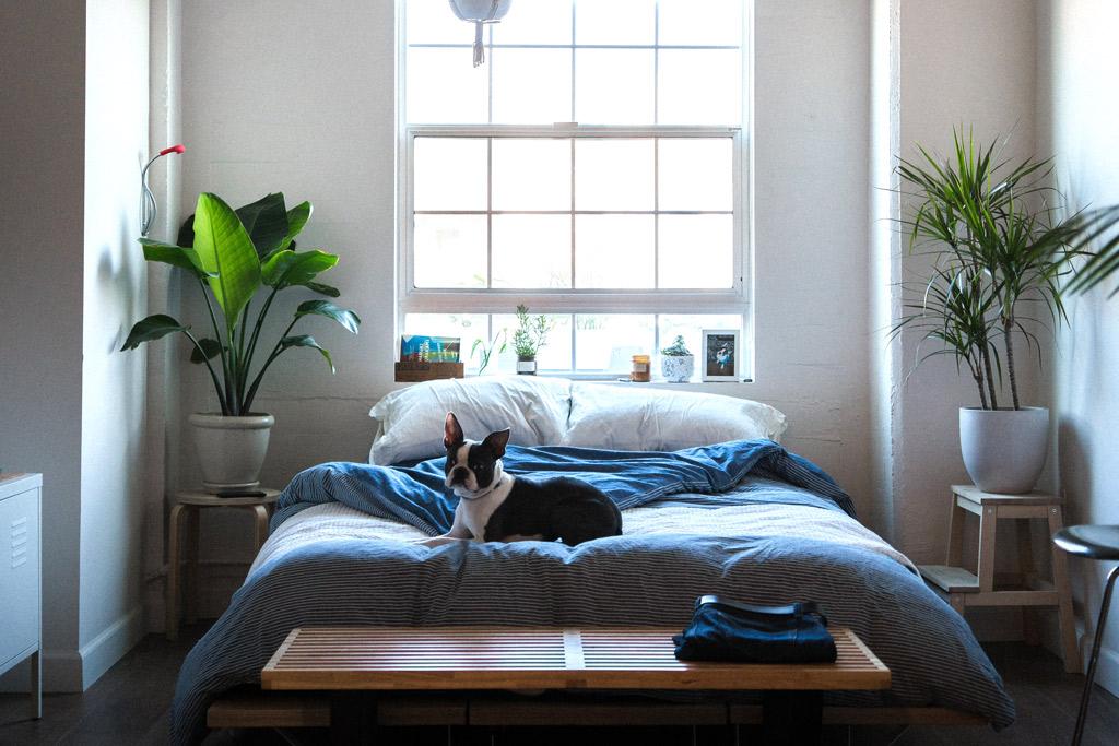 boston-terrier-sleeping-habits