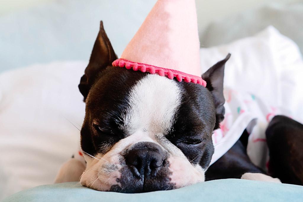 boston-terrier-sleeping-patterns