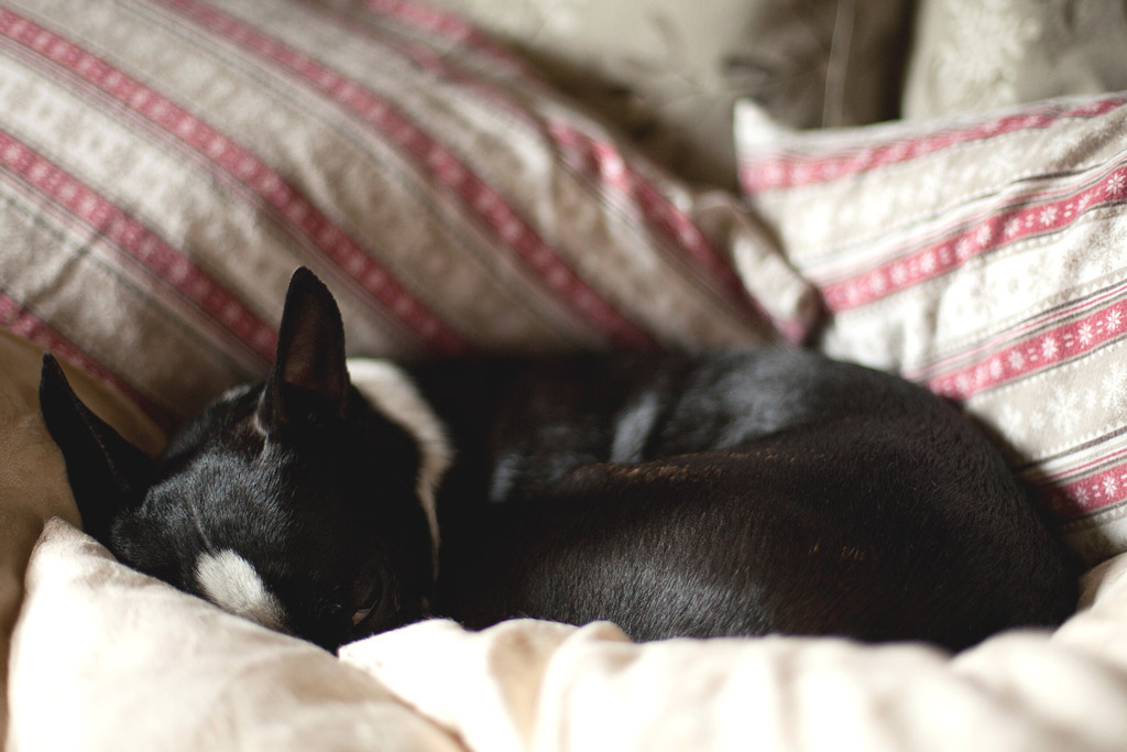 boston-terrier-sleeping-position