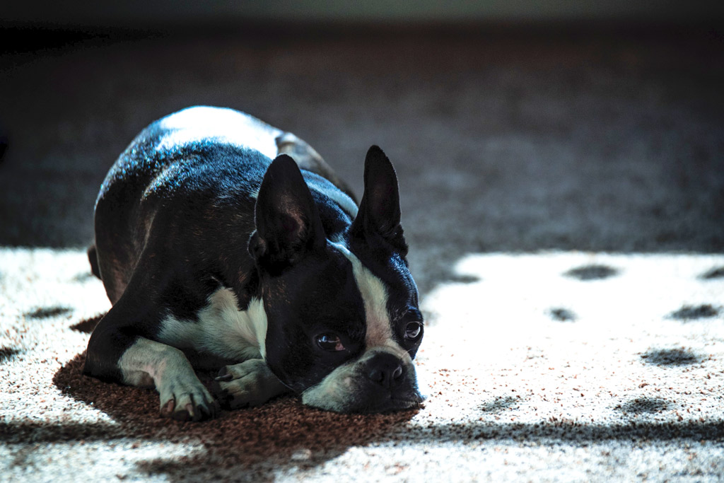 boston-terrier-snoring