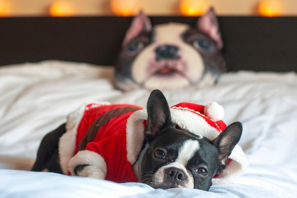 boston-terrier-snuggle