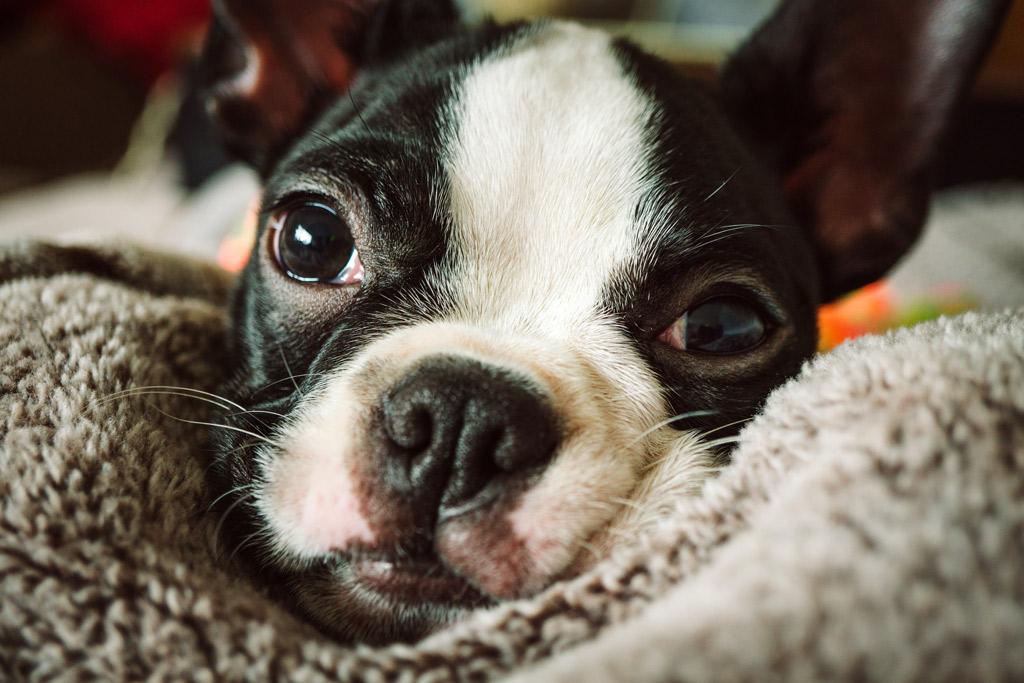 boston-terrier-snuggling
