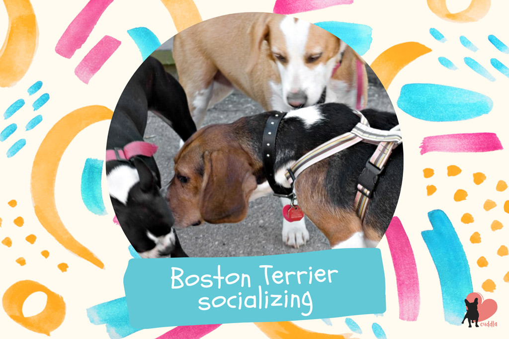 boston-terrier-socializing