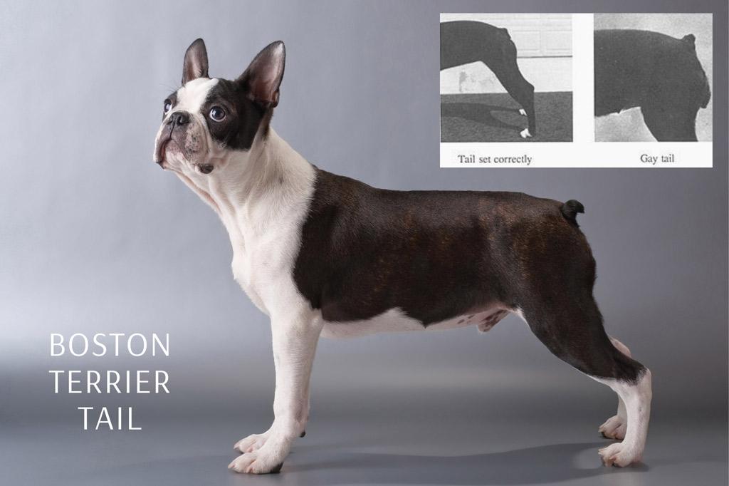 boston-terrier-tail-set-correctly