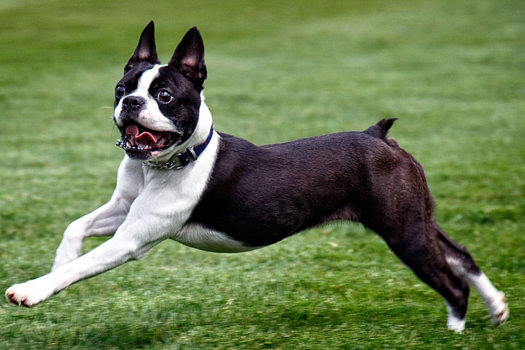 boston-terrier-tail