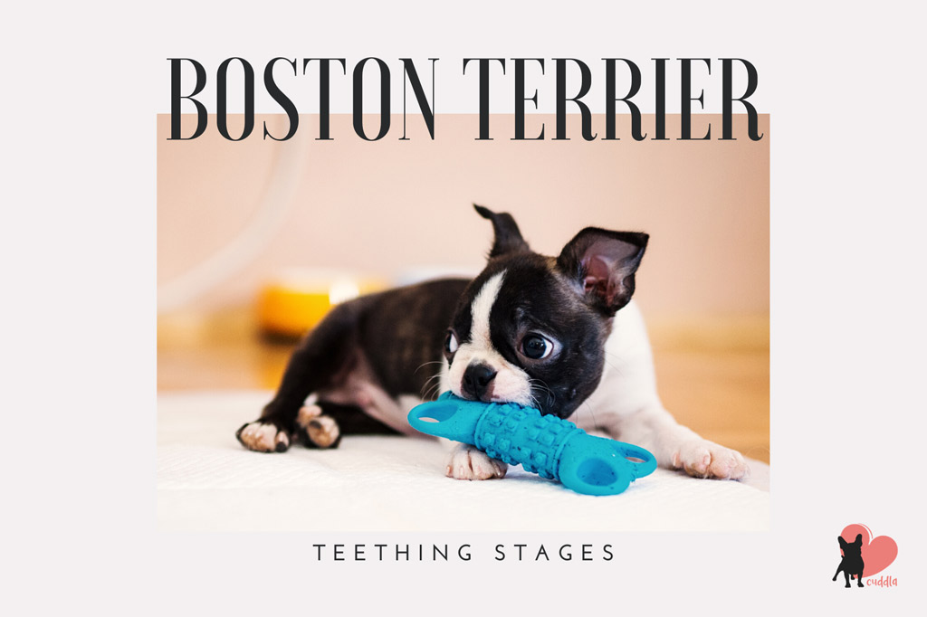 boston-terrier-teething