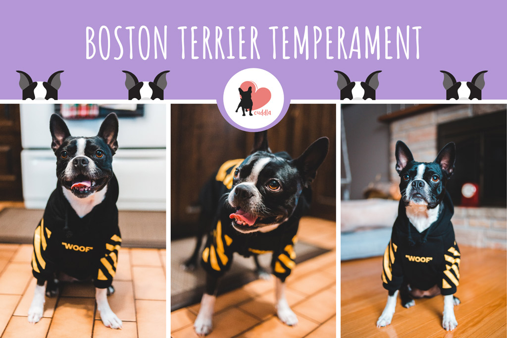 boston-terrier-temperament