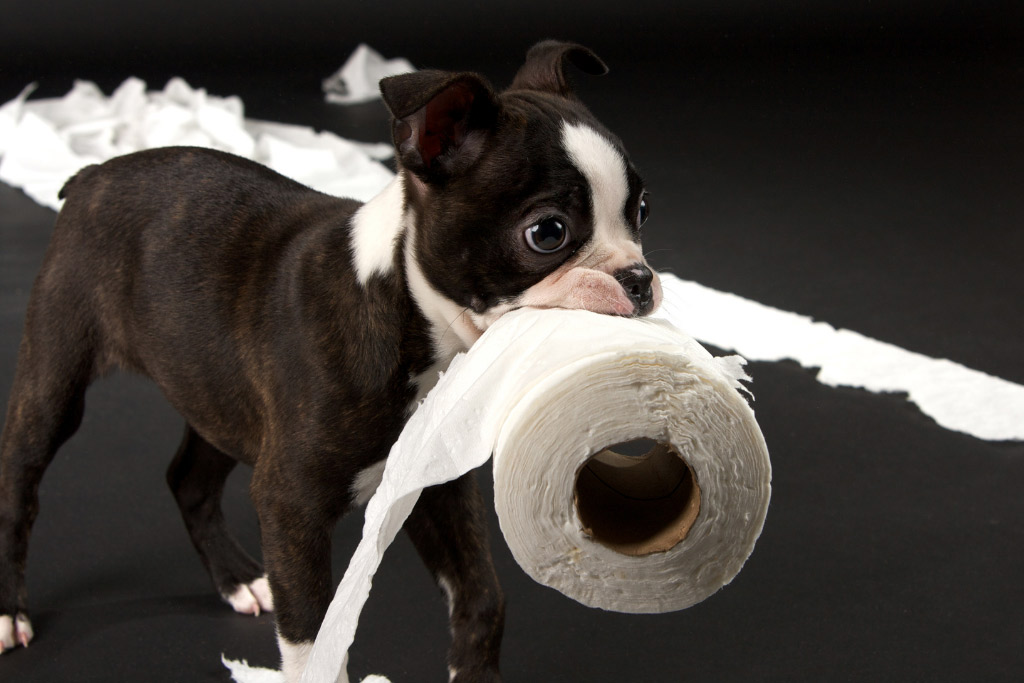 boston-terrier-training-challenges