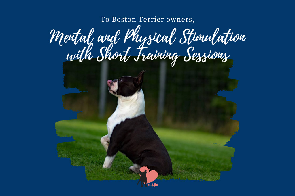 boston-terrier-training-for-zoomers
