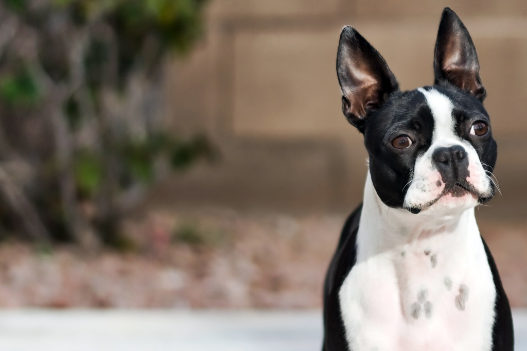 boston-terrier-training-schedule