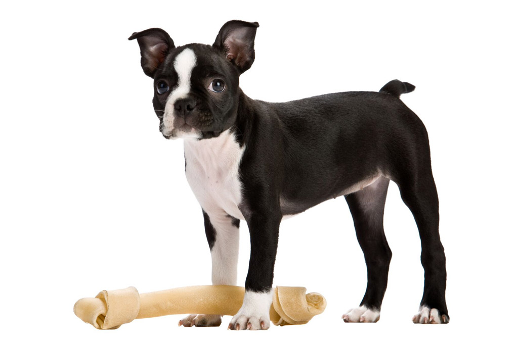 boston-terrier-treats