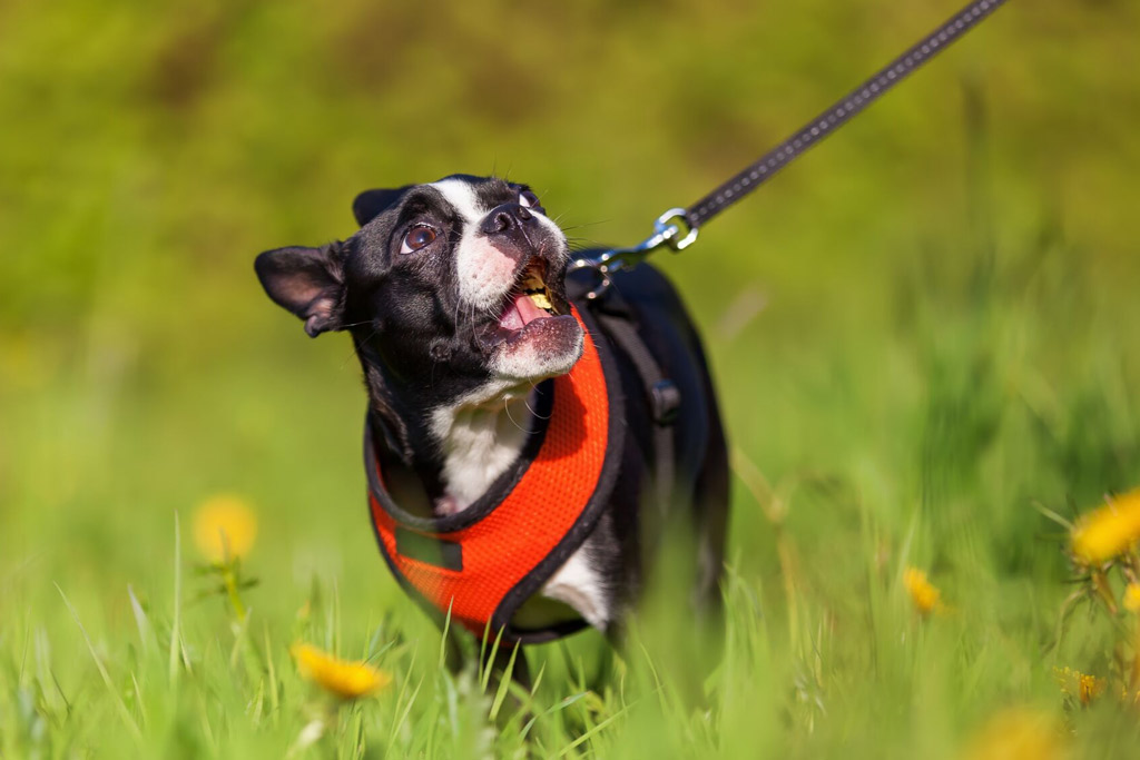boston-terrier-walking-on-leash