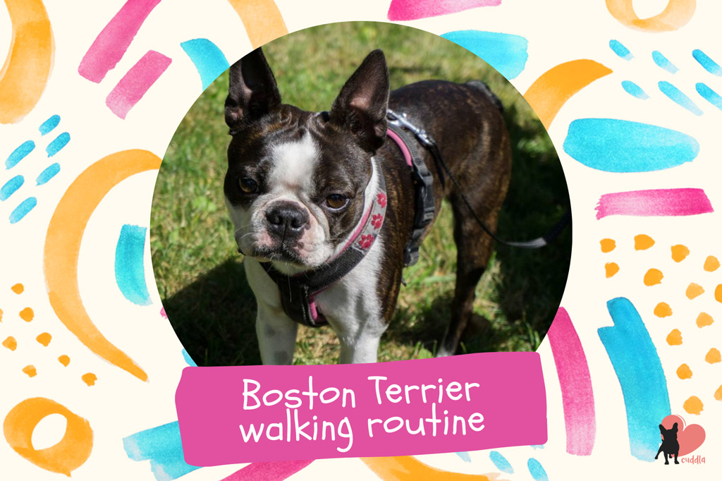 boston-terrier-walking-routine