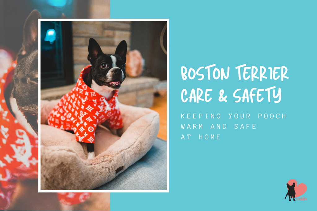 boston-terrier-warm-at-home