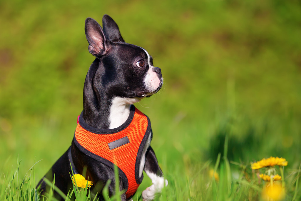boston-terrier-wearing-a-harness