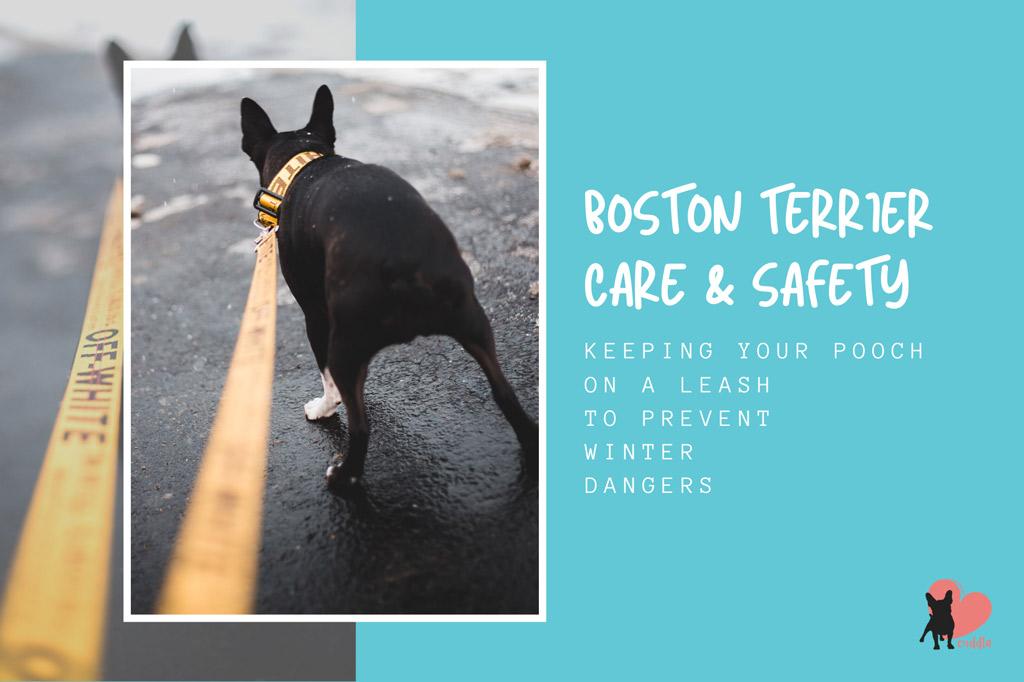 boston-terrier-winter-walks-safety