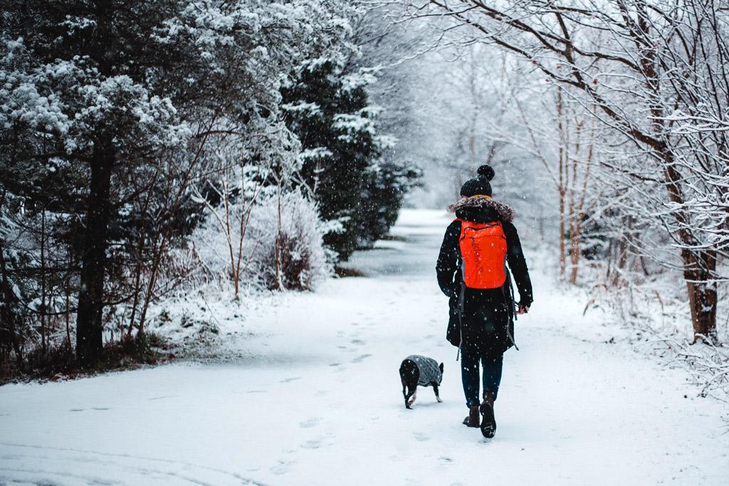 boston-terrier-winter-walks