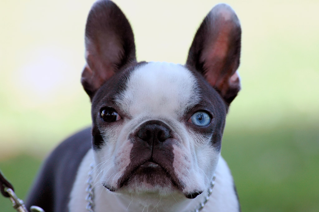 boston-terrier-with-blue-eyes