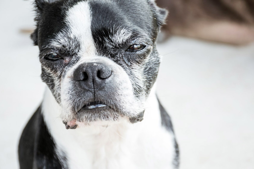 boston-terriers-ageing-factors