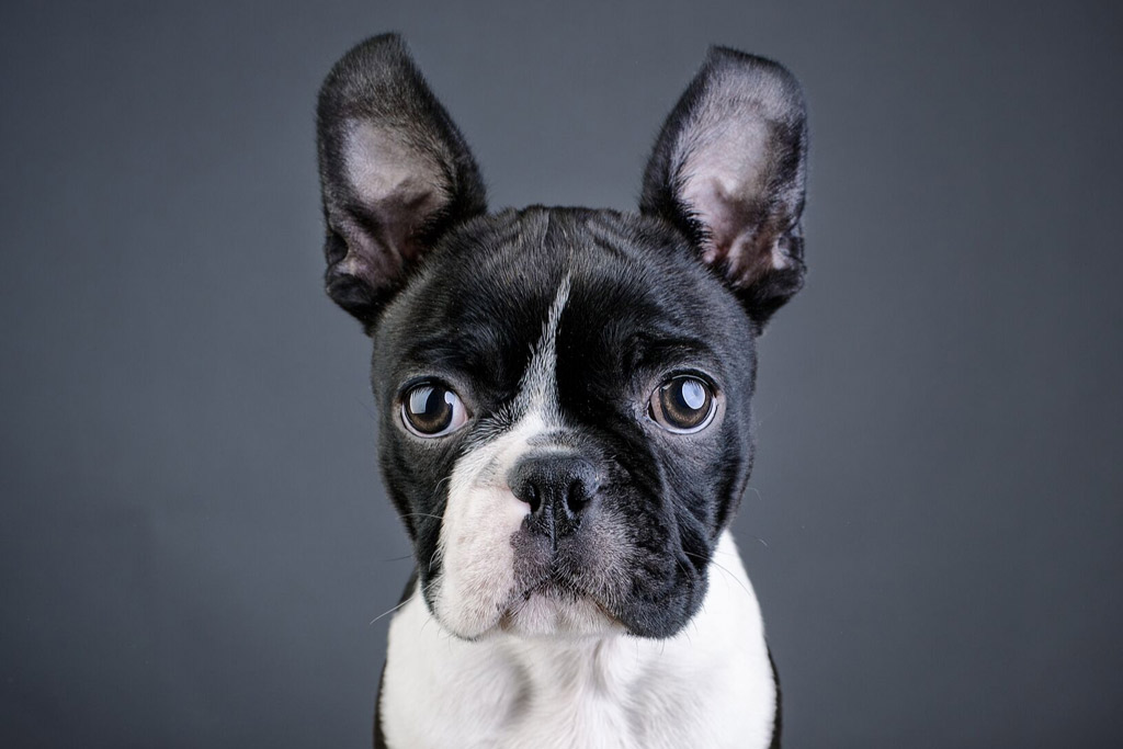 boston-terriers-ears