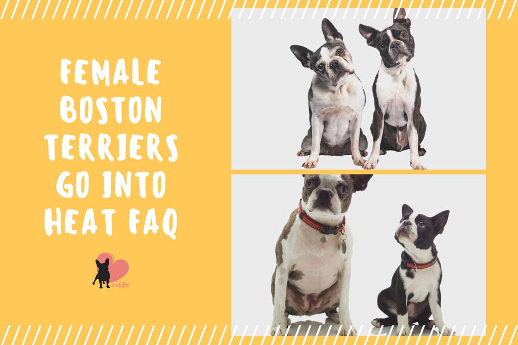 boston-terriers-go-into-heat