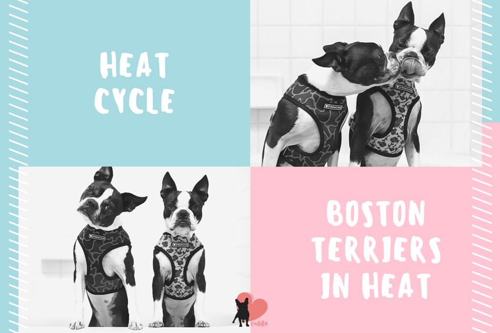 boston-terriers-heat-cycle